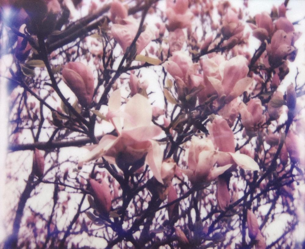 magnolias spectra polaroid jvorwaller.JPG