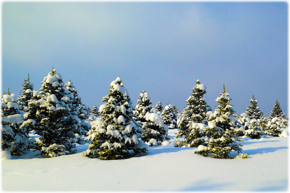 Snow-Christmas-Trees copy.png