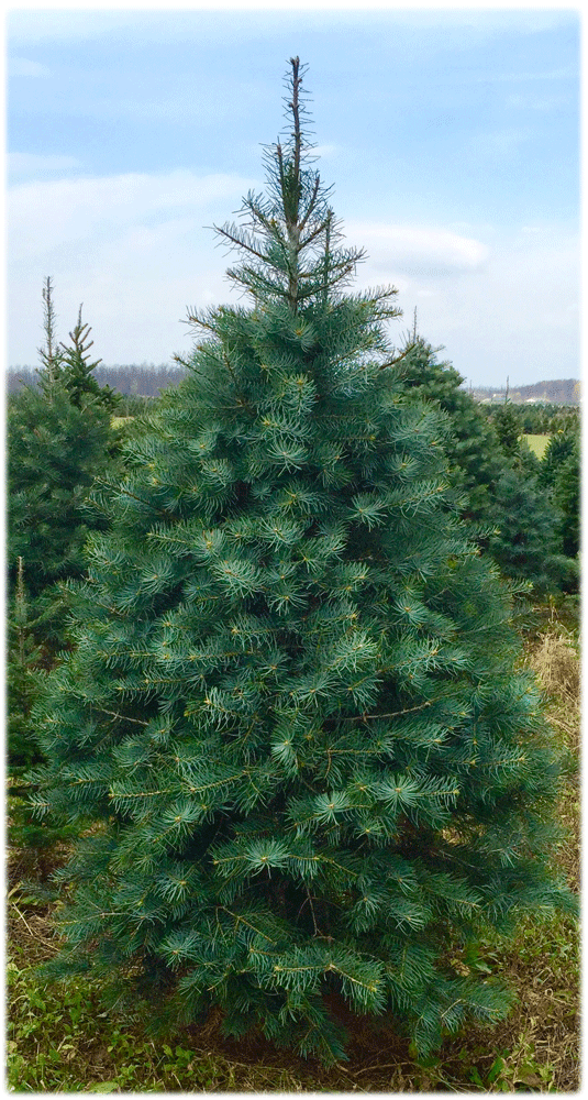 concolor Fir/White fir