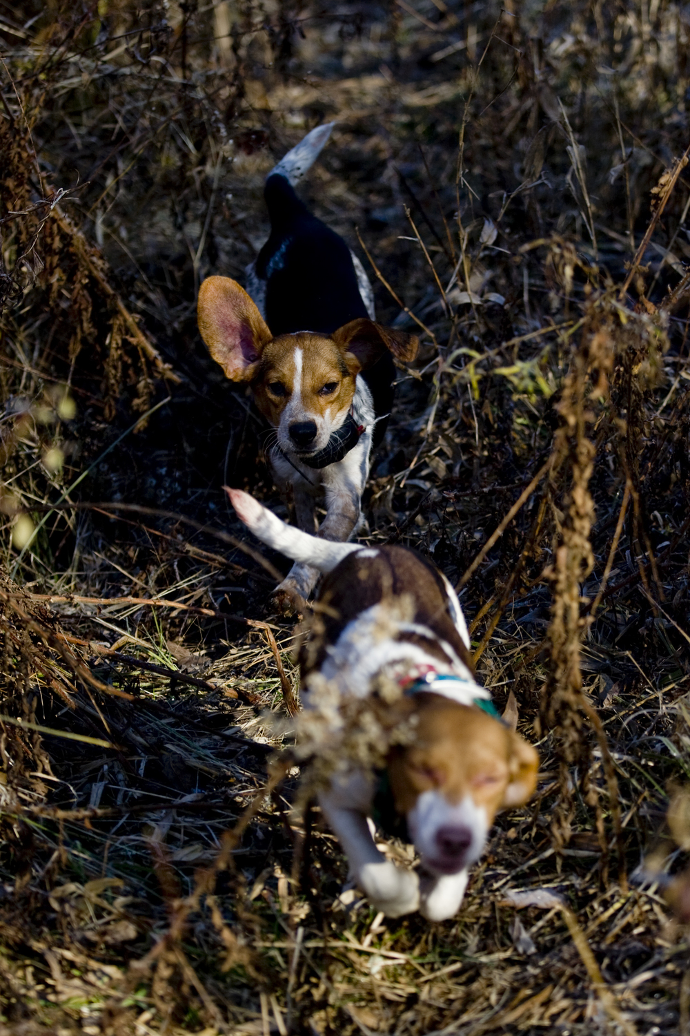 Two of the rabbit hunting beagles.