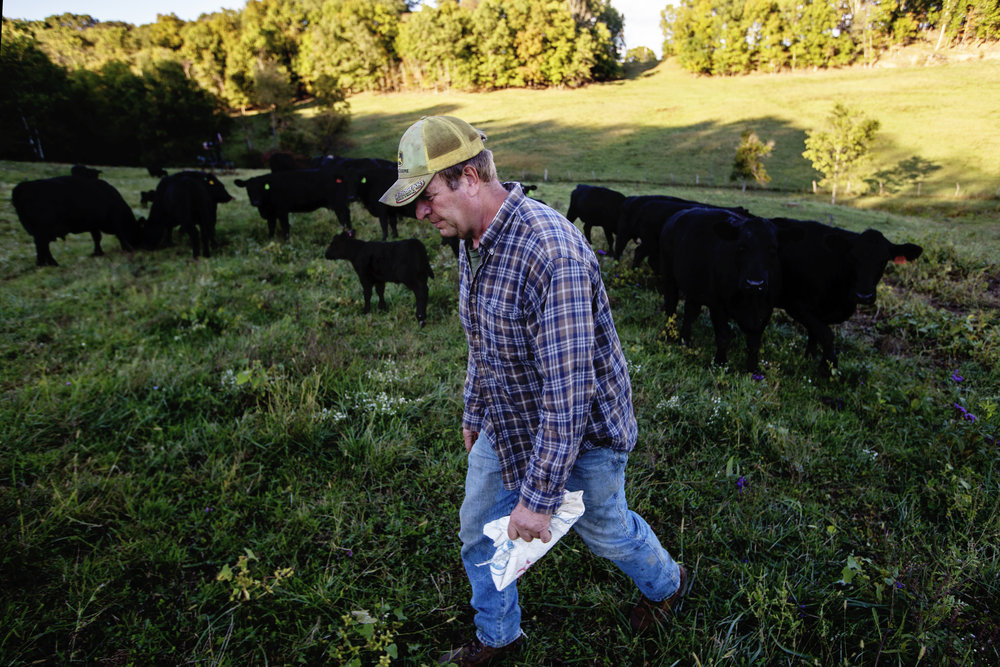 Southall feeds his Black Angus beef cattle during a fall evening.