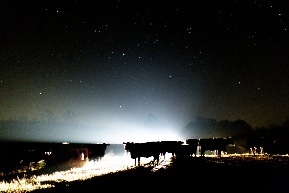 The eerie light from Reitano's spotlight silhouettes the cows in their pasture.