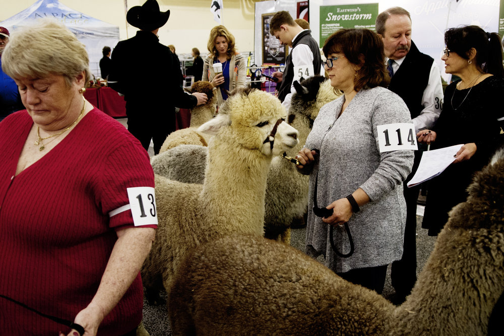 Competitors and their alpacas wait to take the judging floor at the Southern Select Alpaca Show at the Sevierville Convention Center in Sevierville. The contest includes hundreds of alpacas from across the country and features free fiber arts workshops and shops.