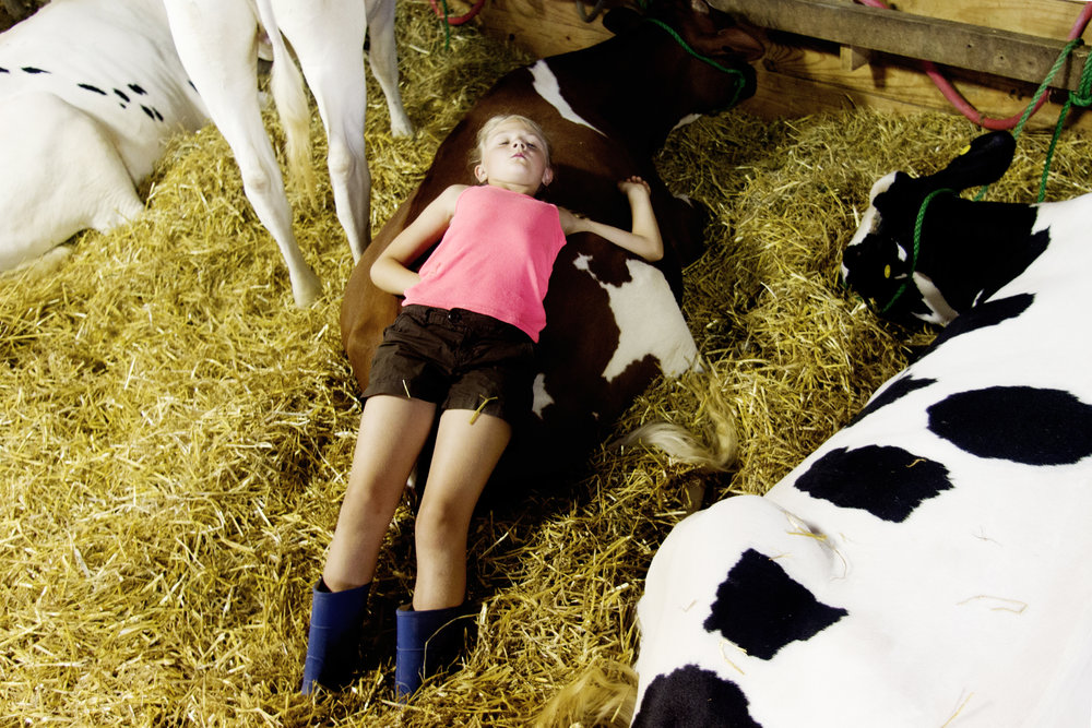 Lexi Gruman, 7, of Fredonia, lies on her sisters cow, Peanut Butter, at the Ozaukee County Fair in Cedarburg, Wisconsin. The Ozaukee County Fair, since 1859, is one of the last free county fairs in the state.