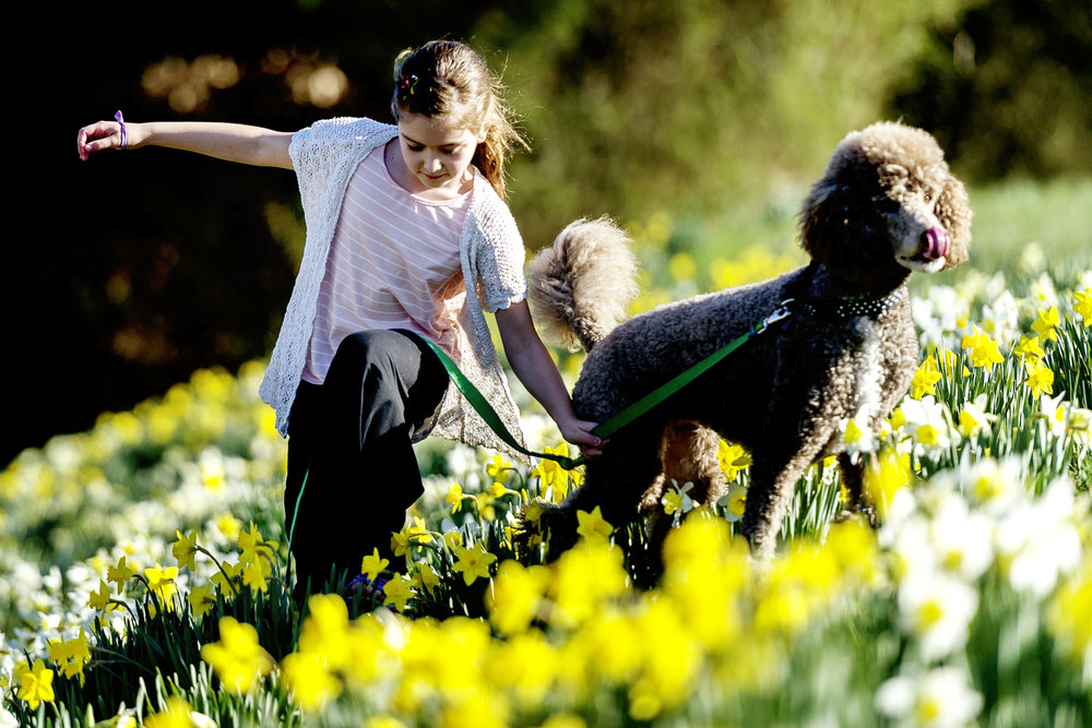 Brinlee Kelly, 8, of Knoxville, walks through a field of daffodils with her poodle, Stella, along Pellissippi Parkway in Knoxville, Tennessee on Tuesday, February 27, 2018.