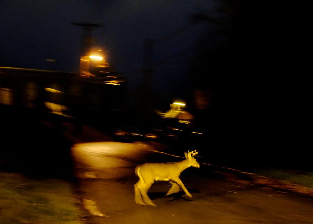Deer crossing, Athens, Ohio, October 2016.