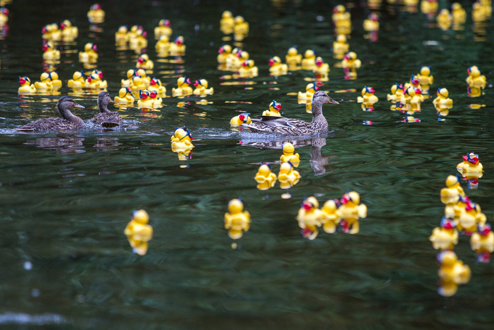 Three ducks swim with rubber ducks as they float down the Huron River at Island Park during the rubber duck dash on Friday, June 16, 2017. The National Kidney Foundation of Michigan hosted the first annual event in order to raise money for their foundation. Matt Weigand | The Ann Arbor News