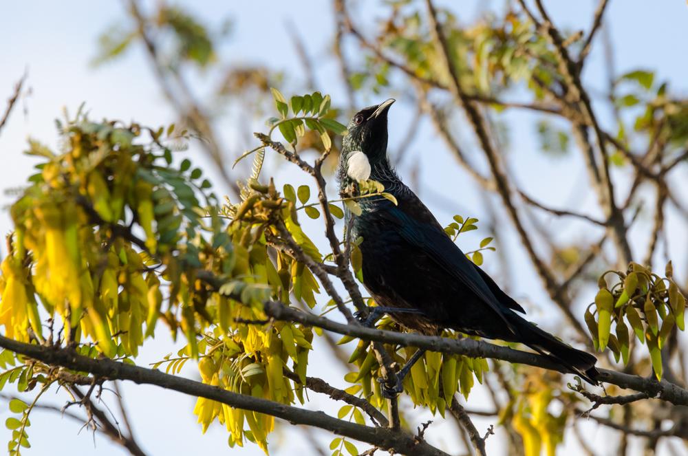 Tui in a Kowhai Tree