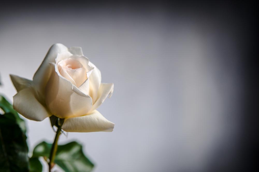 die Weiße Rose-5314.jpg
