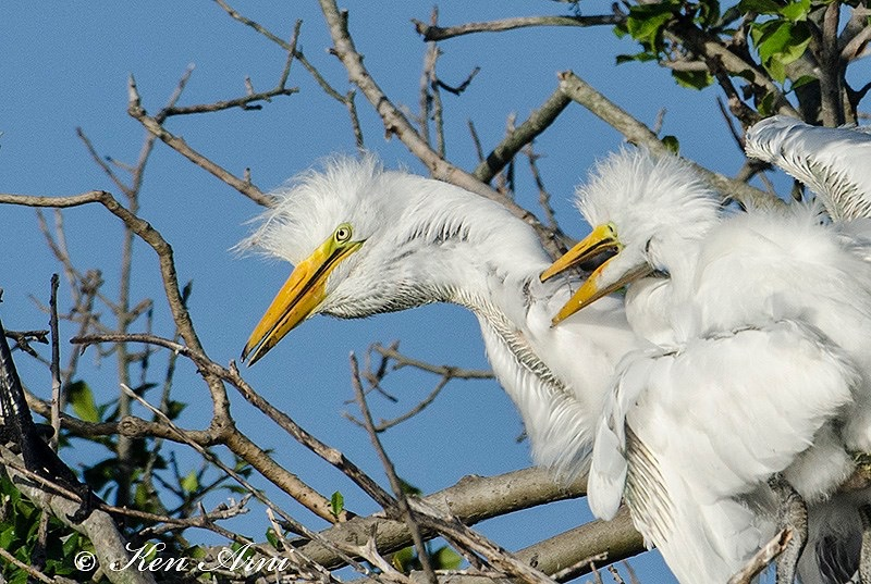 egret chicks.JPG