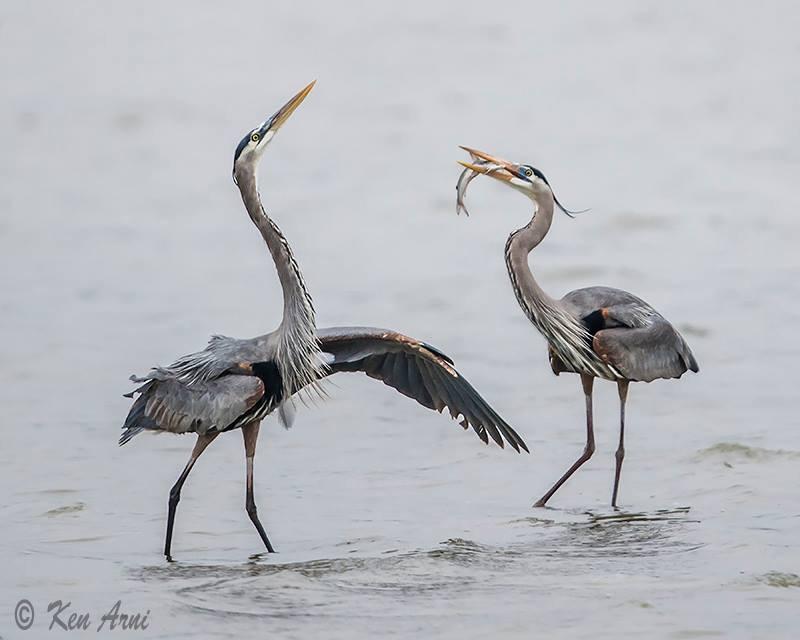 Heron pair.JPG