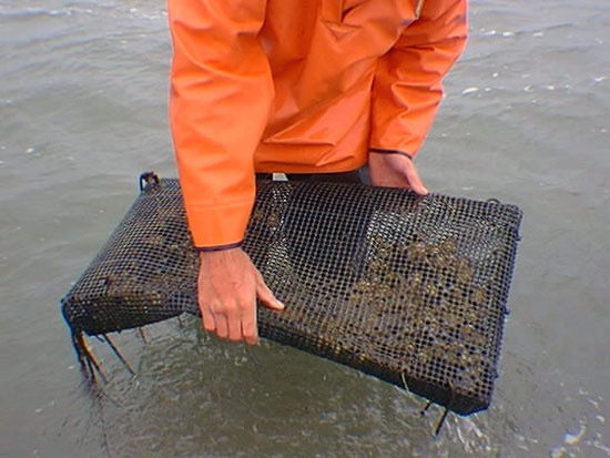 clam netting.JPG