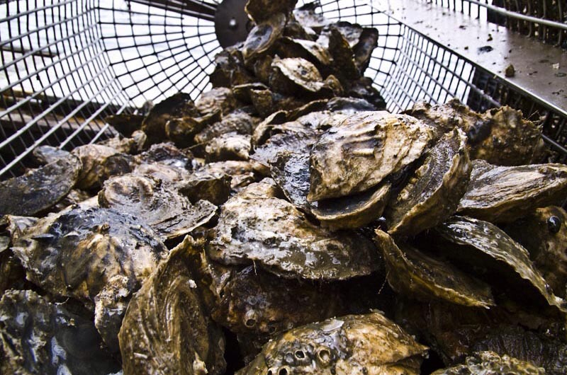 Oysters or clams grown in Little Assawoman will have to be inspected to be sure they are healthy and clean enough to eat.