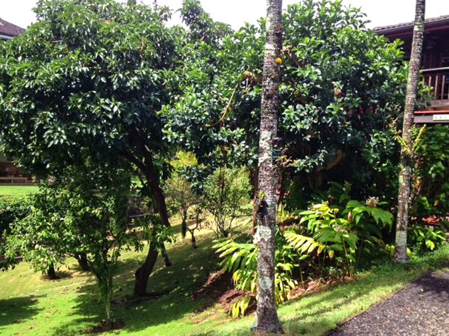 Avocado Trees at our Home in Kalaheo