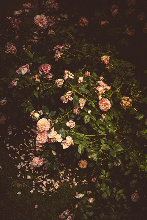 Roses, TSWIL