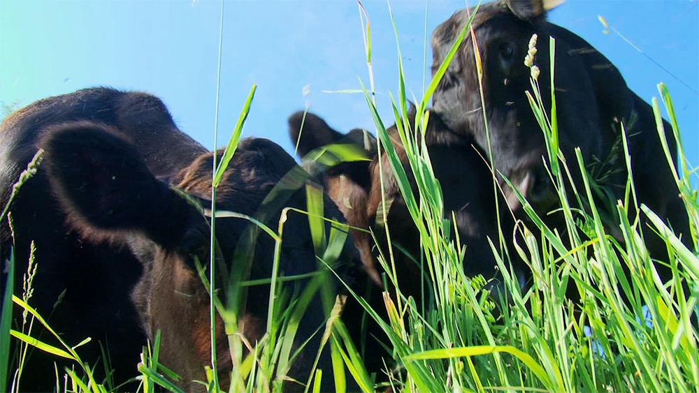 Emsig Farm Cows