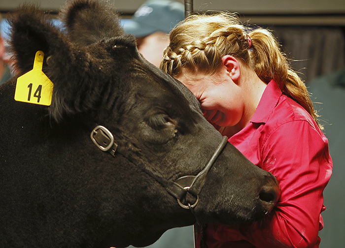 Brooke Egbert, 13, of Botkins, Ohio, rests her head on her reserve champion market steer, shedding tears as she realizes she is moments away from selling him to the highest bidder at the Ohio State fair's Sale of Champions, Sunday, August 3, 2014, in Columbus, Ohio.