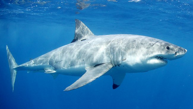 A Great White shark on the hunt