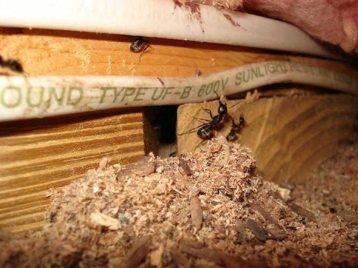 carpenter ant damage in an attic
