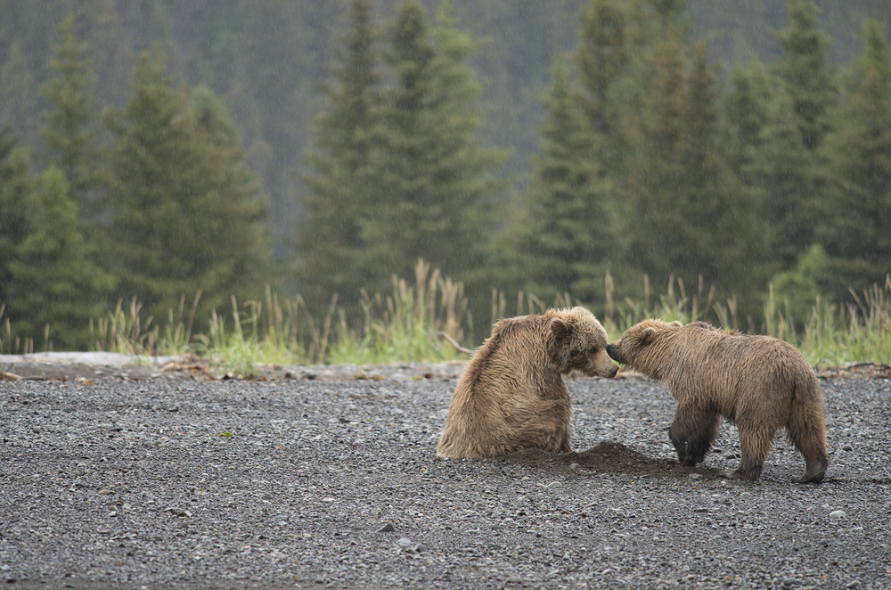 Grizzly4.jpg