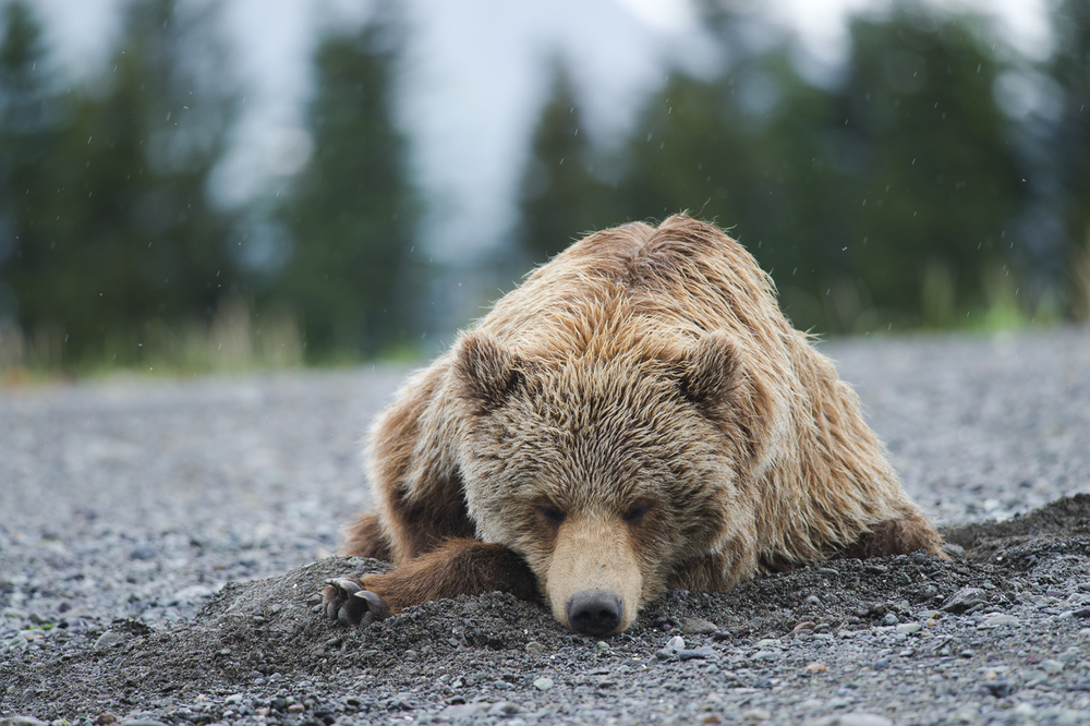 Grizzly9.jpg