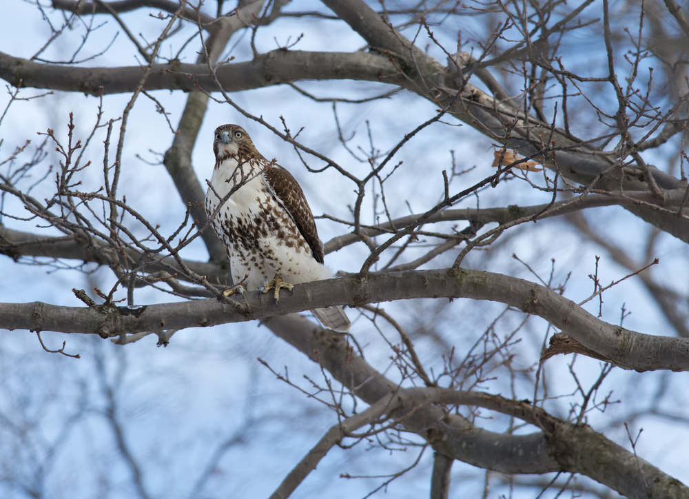 Red-tailed Hawk giving the look!
