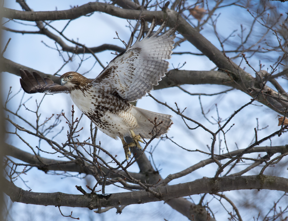 Red-tailed Hawk take off
