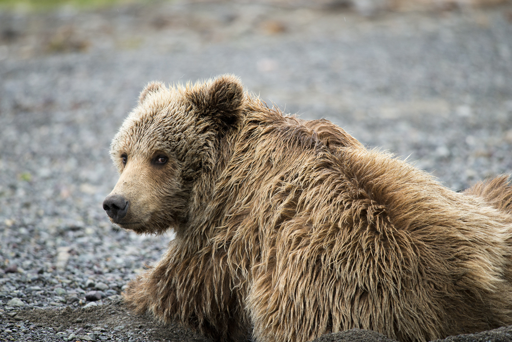 Grizzly1.jpg