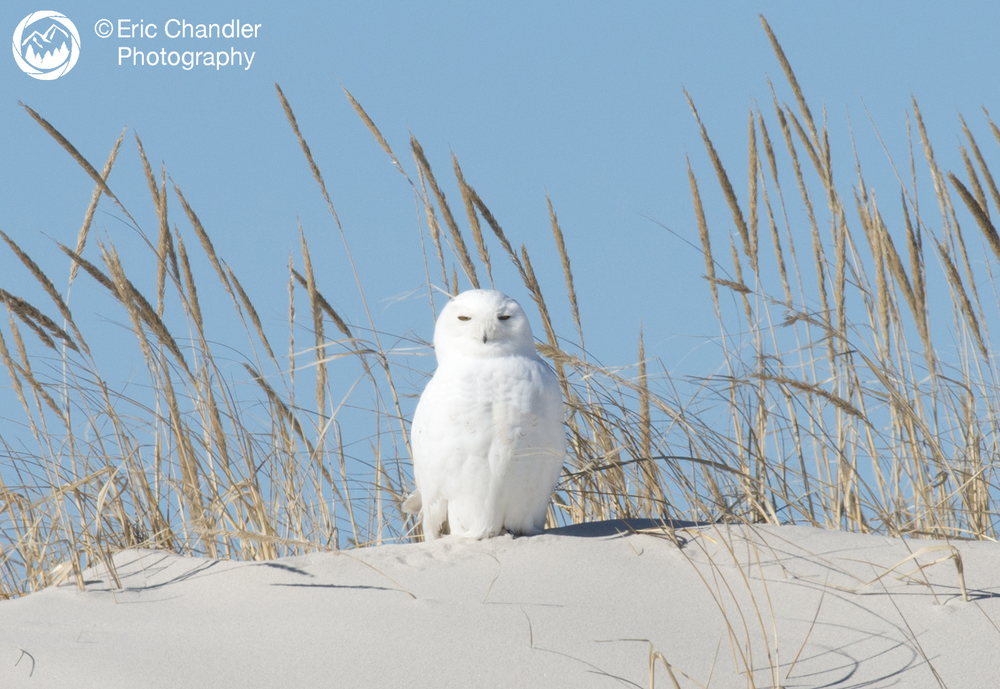 Male Snowy Owl, not a bowling pin!