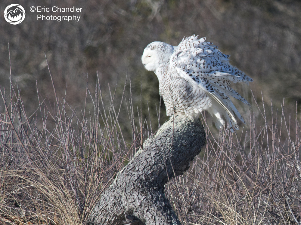 Female Snowy Owl or Transformer?