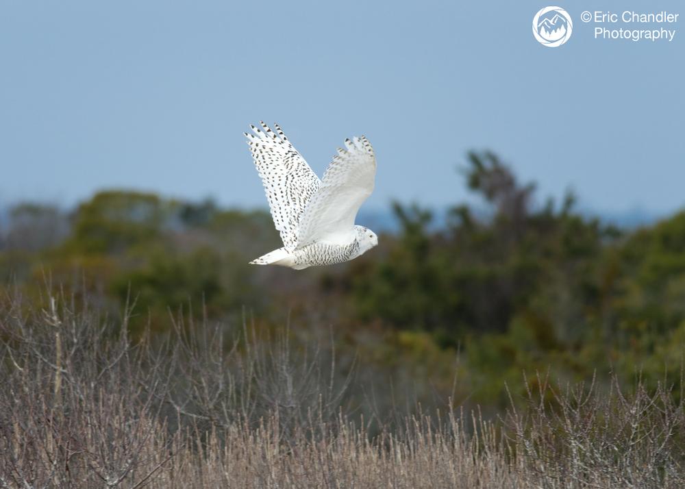 Female Snowy Owl in flight