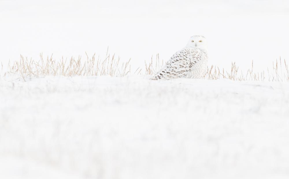 SnowyOwl_website.jpg
