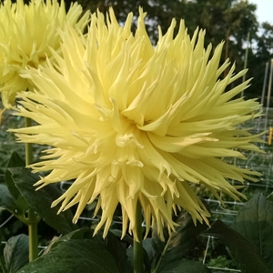 Crazy 4 Dahlias