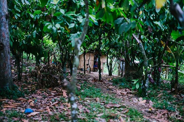 Hidden Within.  #Cacao #Chocolate #Farm #Plantation #Davao #Philippines #Photography #NicholaiGoPhotography #Sony #A7rii