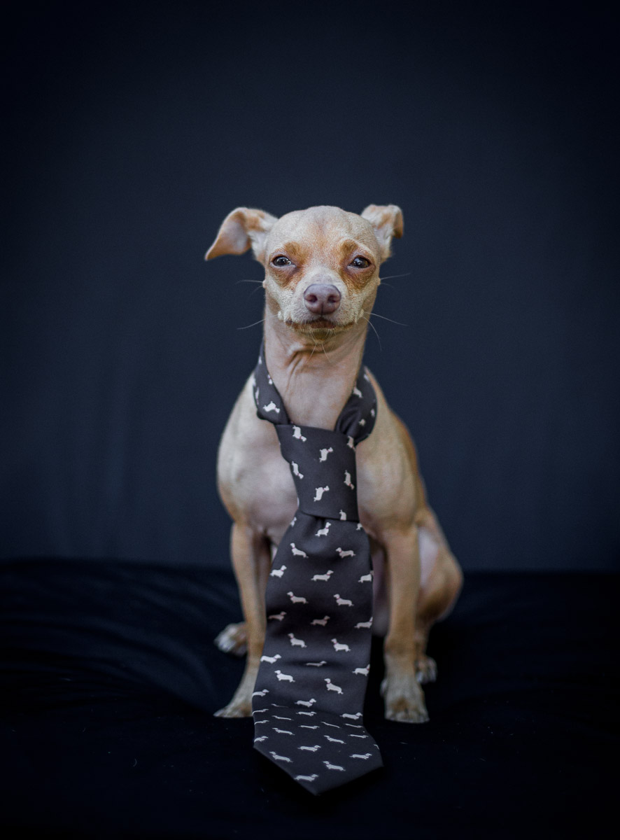 bows-n-ties :     Celebrity dog and   Instagram sensation Tuna   is modeling for our   Dogs-N-Ties fundraiser  .