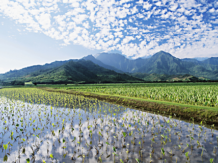 Green and glistening: The taro of Haraguchi Farm in Kauai's Hanalei Valley