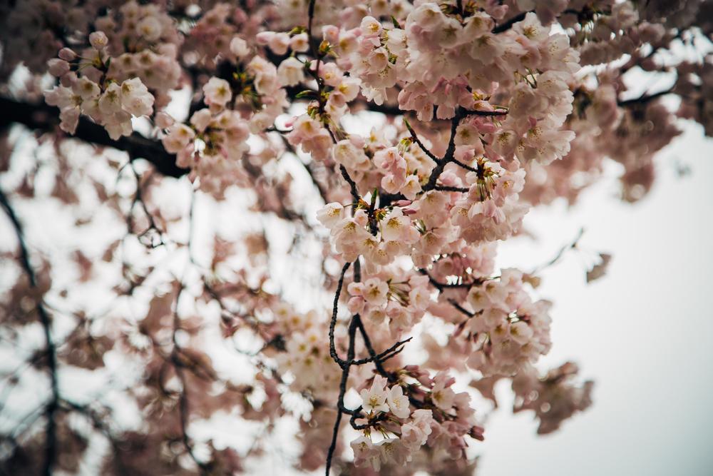 cherry blog-1.jpg