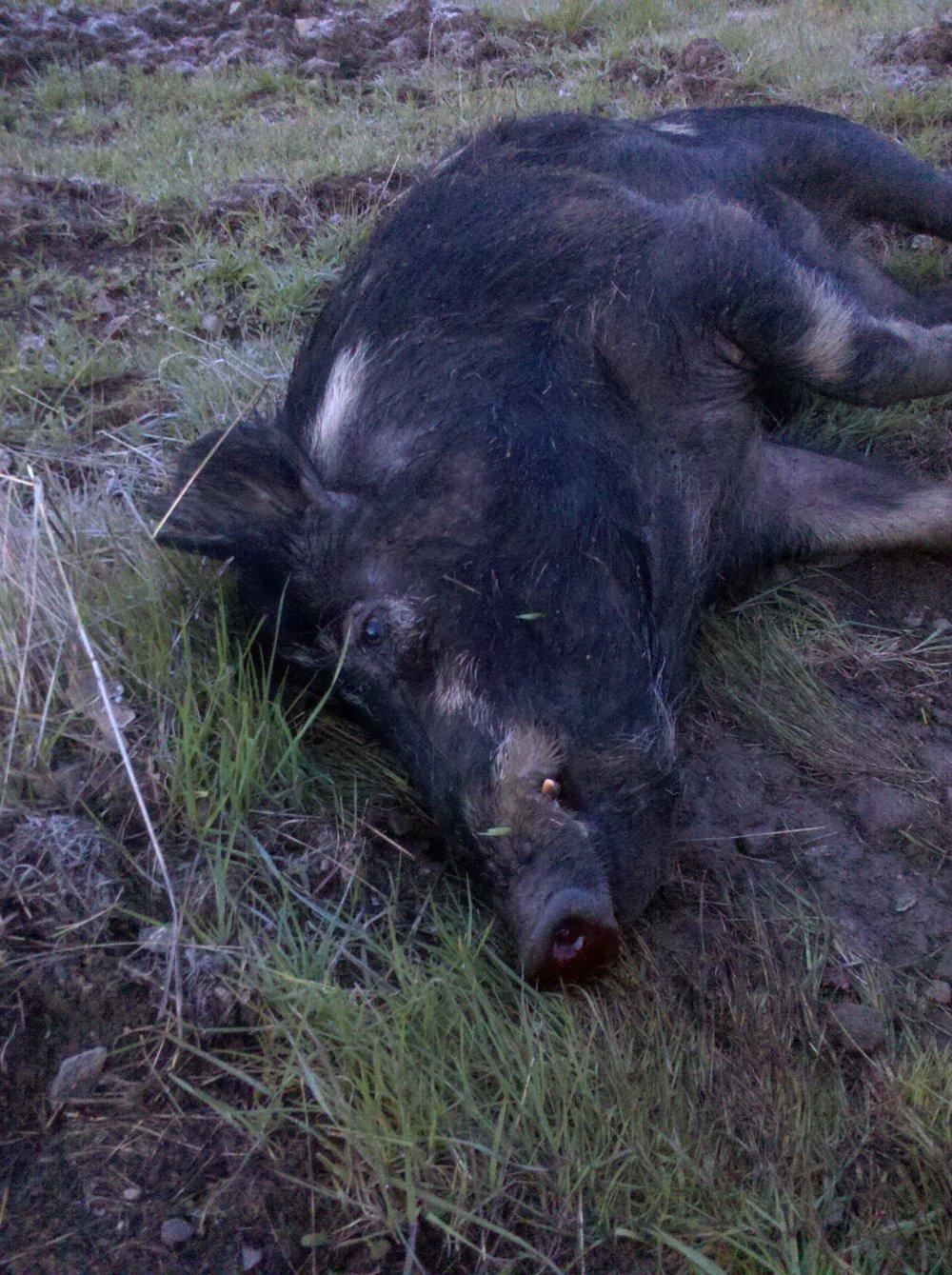 pig dead
