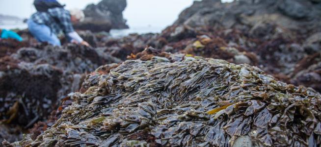 20150108_Kelp_Harvest-50.jpg
