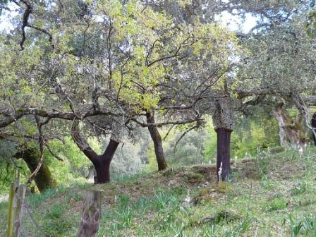 Cork trees in Spain