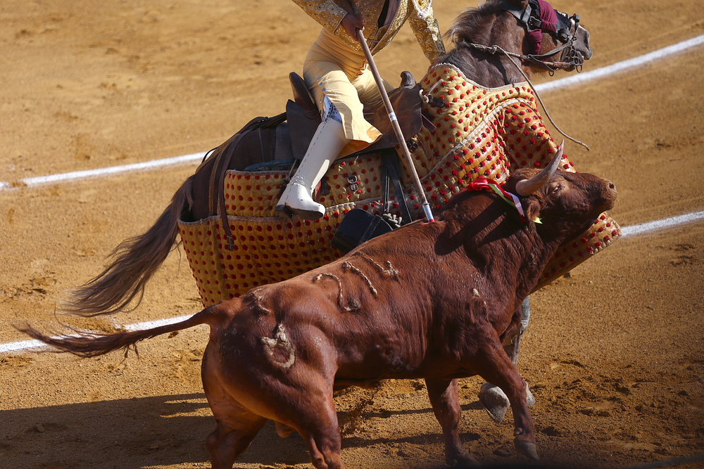 "Bull number 214 is stabbed by one of the ""picadors"" of matador Enrique Ponce's cuadrilla, or team, as the bull's horn gets stuck in the horse's protective gear. This is part of the first step in a modern Spanish-style bullfight. The picador is one of the bullfighters charged with weakening the bull before the matador takes the ring."