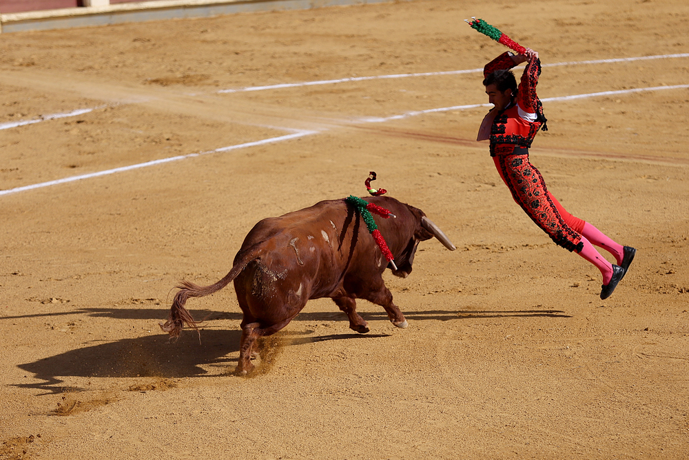 "Matador El Fandi jumps in to stab the bull. The ""banderilla"" is the second step in the three-part modern bullfight, in which three pairs of colorful batons are attached to the back of the bull, and held in with barbed tips. It can be done by the matador or by one of the three ""banderilleros,"" also bullfighters."