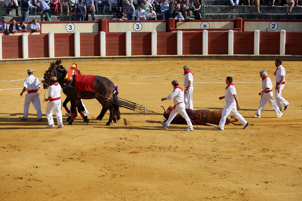 Bull number 214 is removed from the plaza about 20 minutes after he entered. A ceremonial entourage, using three mules, removes the bull's body as men with rakes cover the blood-stained sand to ready the ring for the next fight.