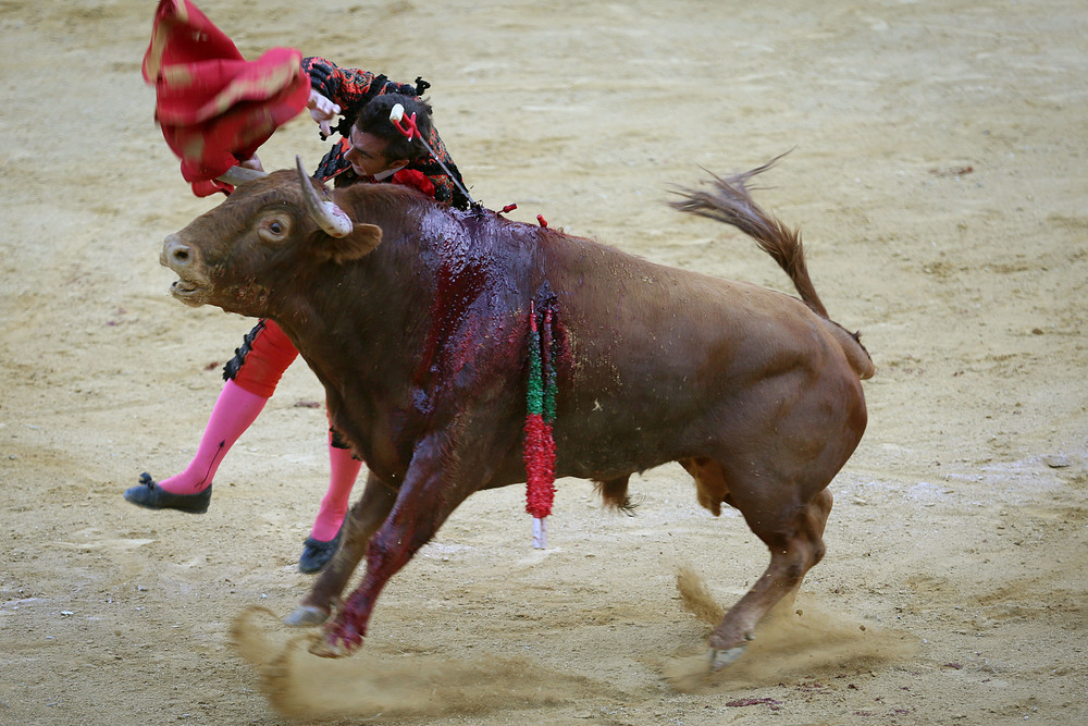 "Matador El Fandi plunges the estoque, or steel sword, into the bull during the final part of the fight. This act is called the ""estocada."". It is a show of skill if the matador can pierce the heart on his first thrust and bring the bull to his knees. El Fandi did not accomplish his kill on the first strike. He did on the second."