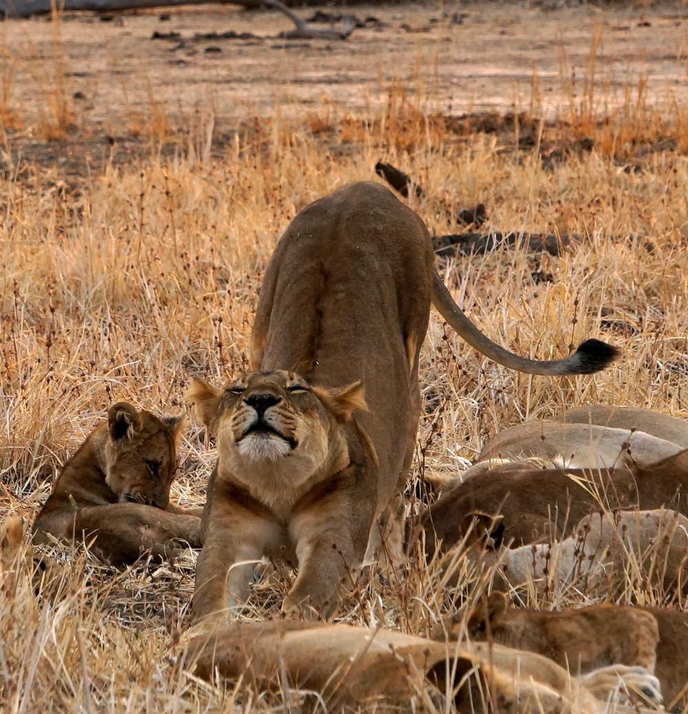 lion stretch.JPG
