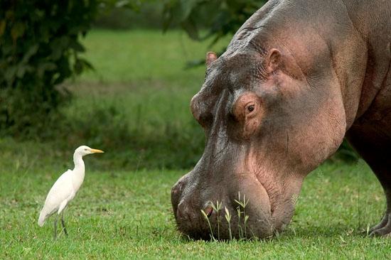 Mvuu Hippo.JPG