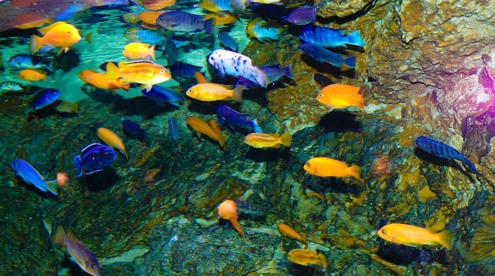 lake-malawi-cichlids.jpg
