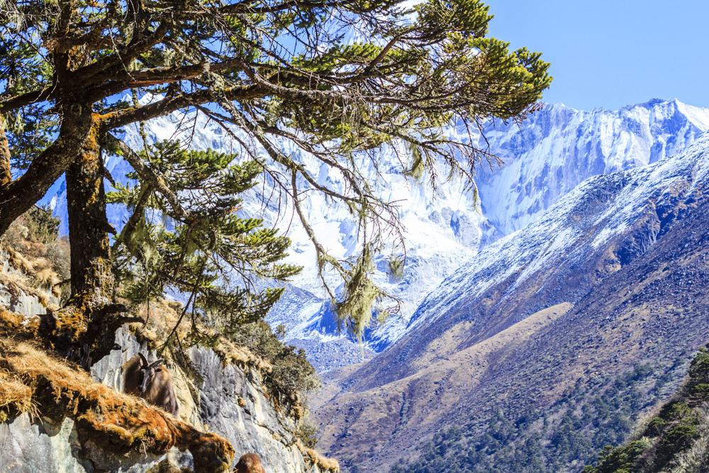 A Thar (mountain goat).