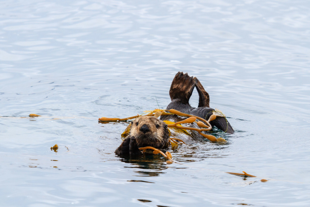A seaotter chilling.