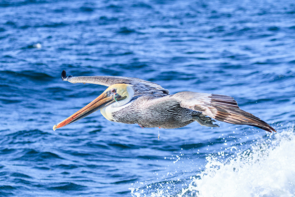 A Pelican with a fishing lure.